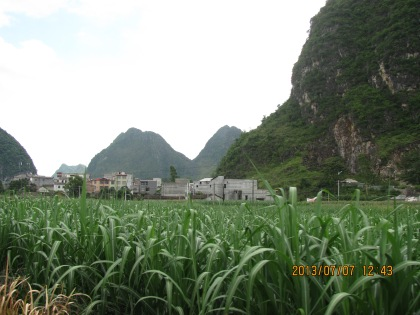 corn growing in Debao