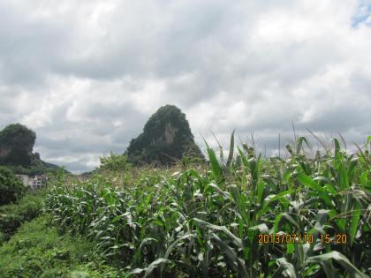 corn field in between mountains