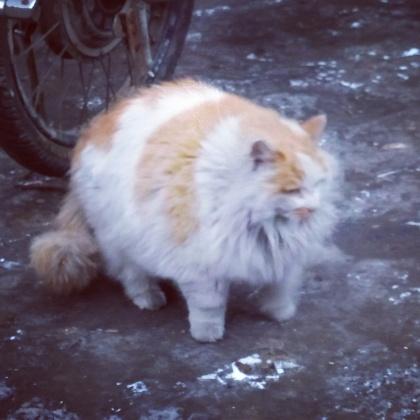 Harbin cat